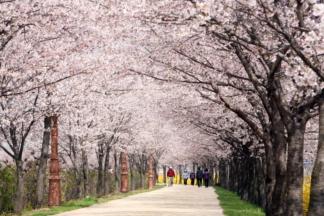 永登浦区安养川 樱花