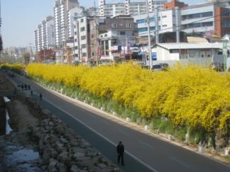 西大门区弘济川畔 迎春花