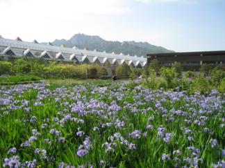 首尔菖蒲园 鸢尾花